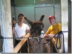 07-10-08 Shearing the llamas 001